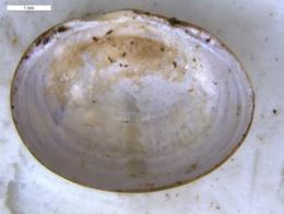 Sphaerium occidentale image