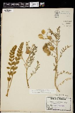Image of Astragalus triflorus
