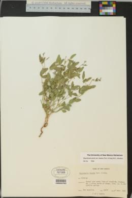 Rhynchosia senna var. texana image