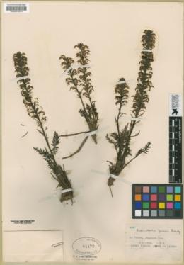 Image of Pedicularis jonesii