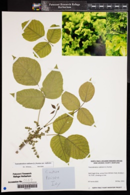 Toxicodendron radicans var. radicans image
