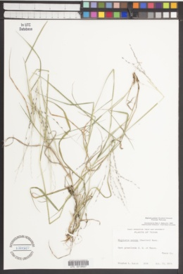 Digitaria patens image