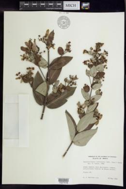 Banisteriopsis laevifolia image
