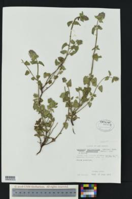Agastache pallidiflora image