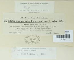 Image of Tilletia separata