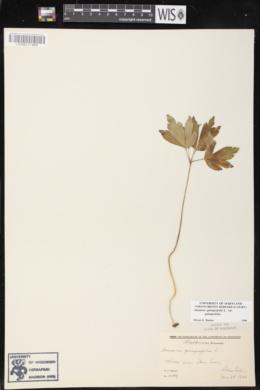 Anemone quinquefolia image