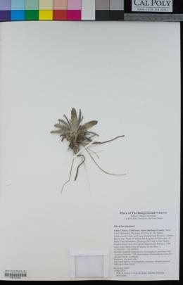 Image of Hieracium argutum