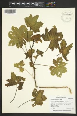 Image of Lavatera venosa