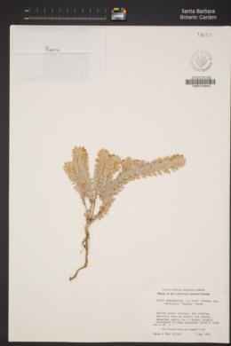 Acmispon argophyllus var. adsurgens image