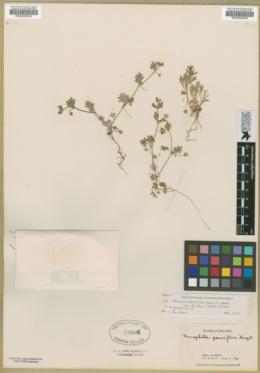 Nemophila spatulata image