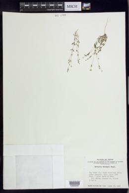 Arenaria benthamii image