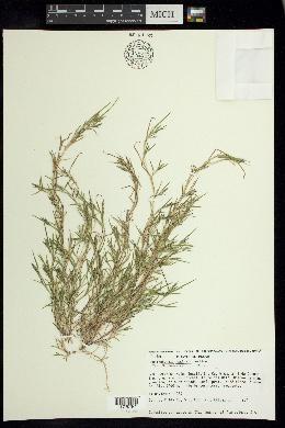 Muhlenbergia vaginata image