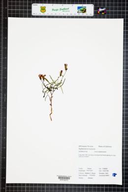 Image of Stephanomeria lactucina