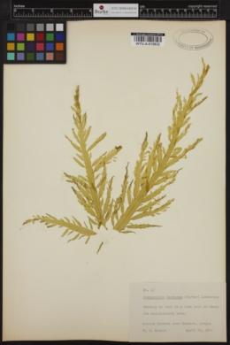 Desmarestia herbacea image