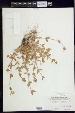 Cerastium fischerianum image