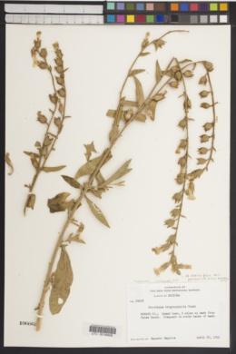Nicotiana obtusifolia var. palmeri image
