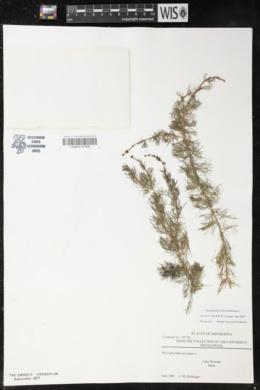 Myriophyllum sibiricum image