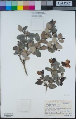 Image of Acokanthera venenata