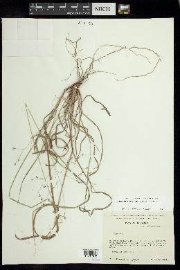 Panicum hallii var. hallii image
