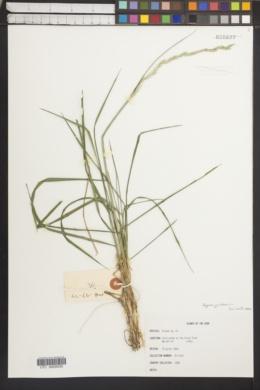 Image of Elymus jacutensis