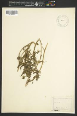 Image of Cuscuta megalocarpa