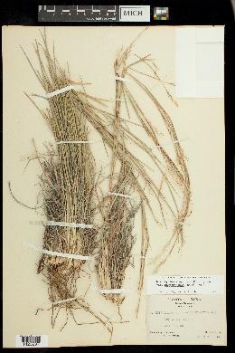 Image of Schizachyrium neomexicanum