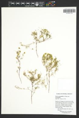 Pectis stenophylla var. stenophylla image