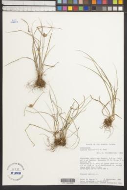 Cyperus filiculmis image