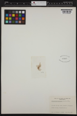 Tilopteris mertensii image
