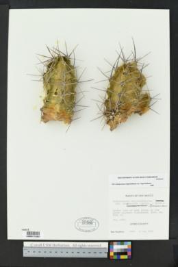 Echinocereus triglochidiatus image