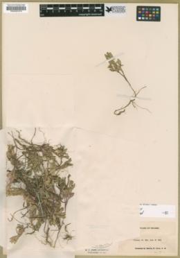 Scutellaria nana image