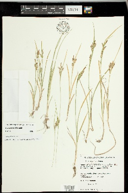 Carex garberi image