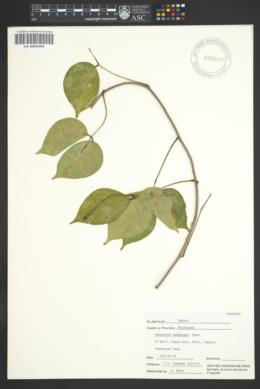 Image of Canavalia acuminata