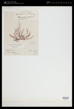 Hypnea spicifera image