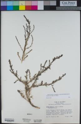 Suaeda nigra image