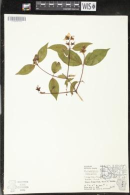 Philadelphus coronarius image
