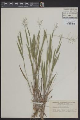 Image of Panicum addisonii