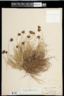 Carex haydeniana image