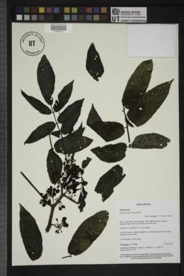 Solanum mite image
