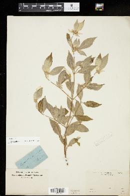 Image of Pycnanthemum incanum