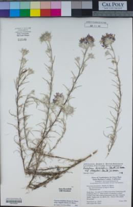 Eriastrum densifolium image
