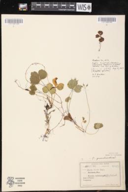 Coptis trifolia image