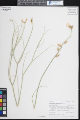 Image of Astragalus rafaelensis