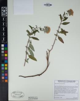 Image of Monardella saxicola