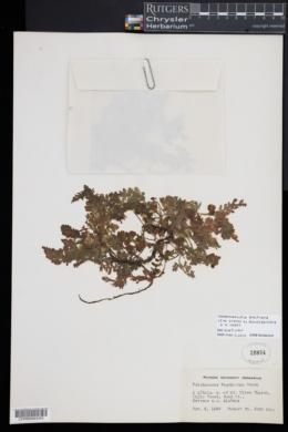 Vandenboschia boschiana image