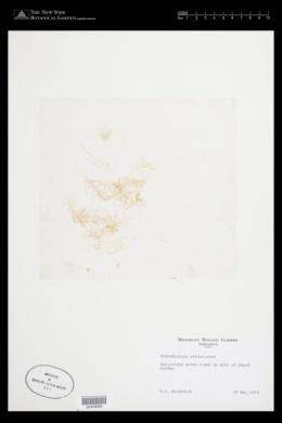 Hydrodictyon reticulatum image