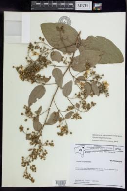 Image of Thryallis longifolia