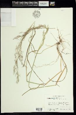 Image of Agrostis ghiesbreghtii