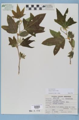 Platanus wrightii image
