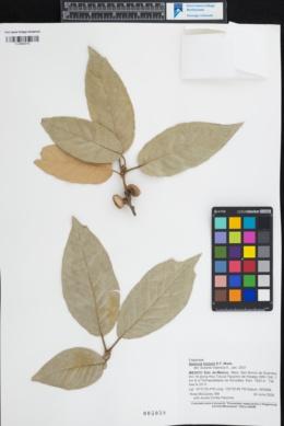 Quercus hintonii image